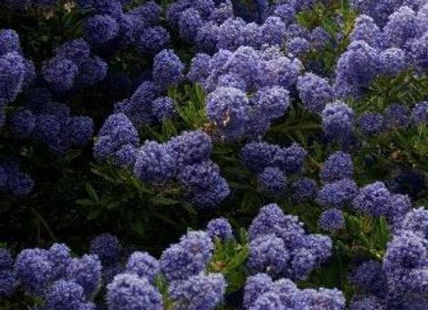 Ceanothus 'Blue Mound' 2L