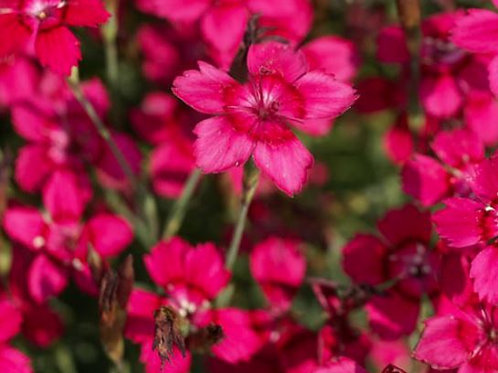 Dianthus deltoides 'Flashing Light' 9cm