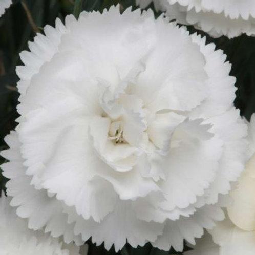Dianthus 'Colores White' 2L