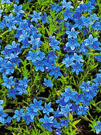 Lithospernum 'Heavenly Blue' 2L