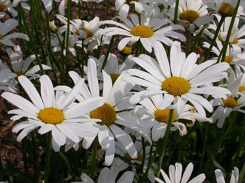 Leucanthemum  'May Queen' 2L