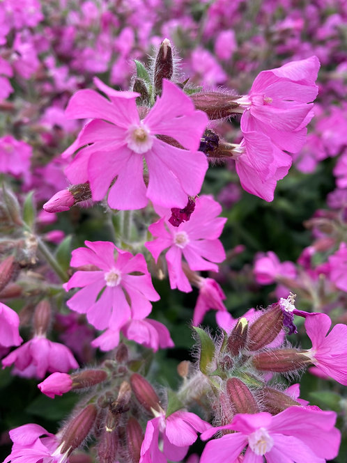 Silene 'Rolly's Favourite' 2L