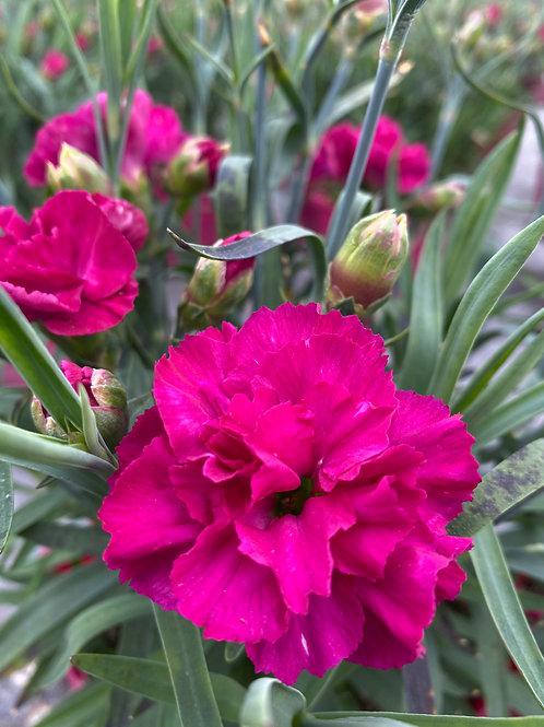 Dianthus 'Colores Pink' 2L