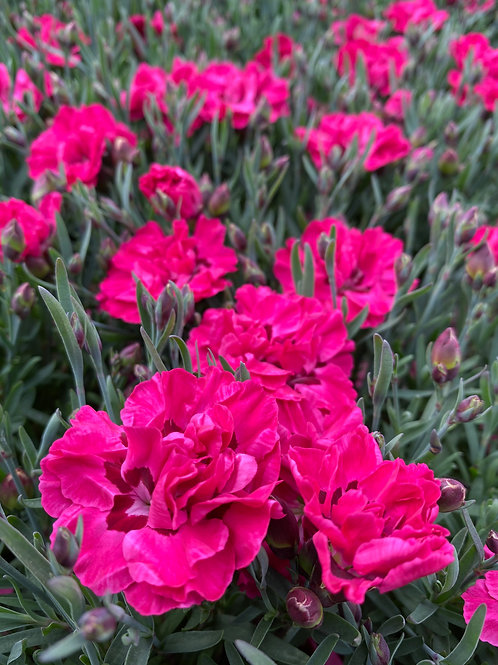 Dianthus 'Early Love' 1L