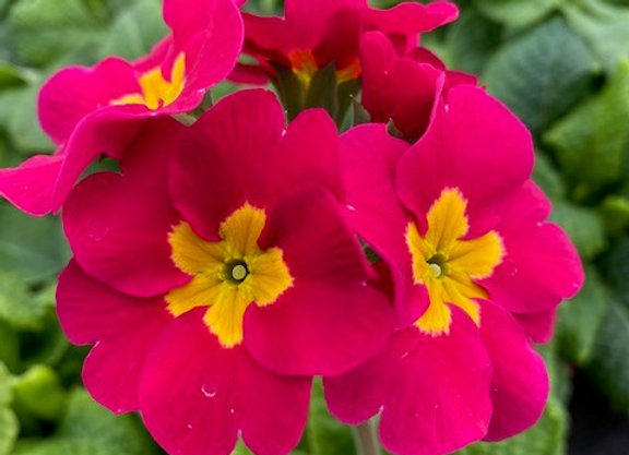 Primrose Pink 9cm