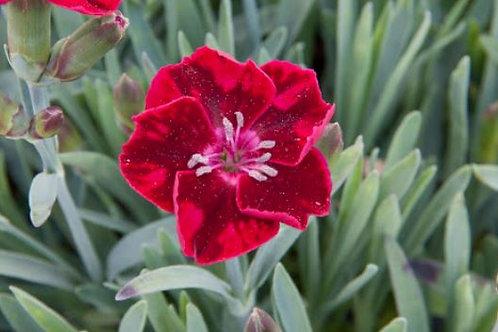 Dianthus diantica Velvet 9cm