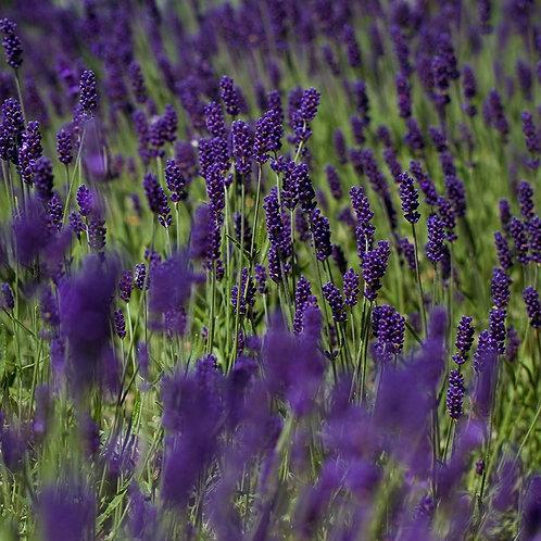 Lavender angustifolia 'Hidcote' 9cm