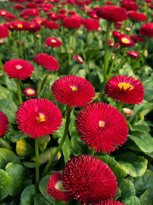 Bellis Red 2L