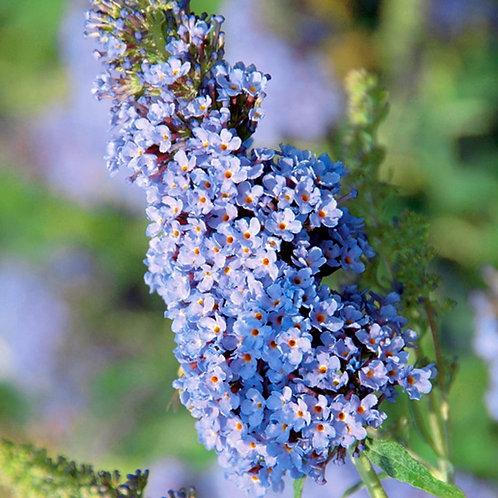 Buddleia 'Buzz Sky Blue' 3L