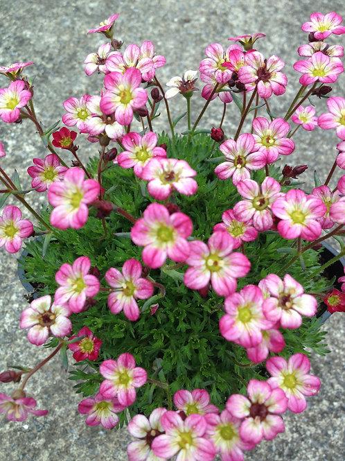 Saxifraga Pink 2L
