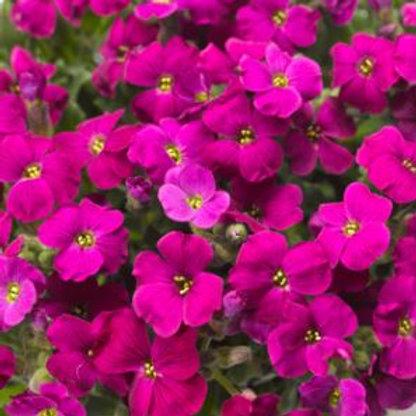 Aubrieta Purple Red 9cm