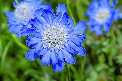 Scabiosa Deep Blue 2L