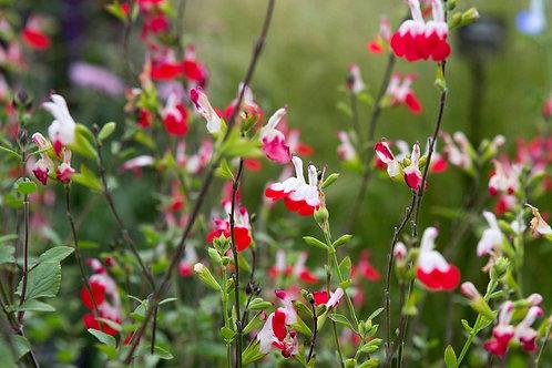 Salvia 'Hot Lips' 2L