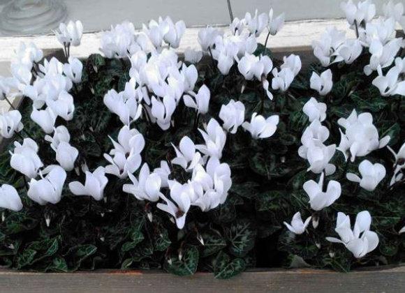 Cyclamen White 9cm