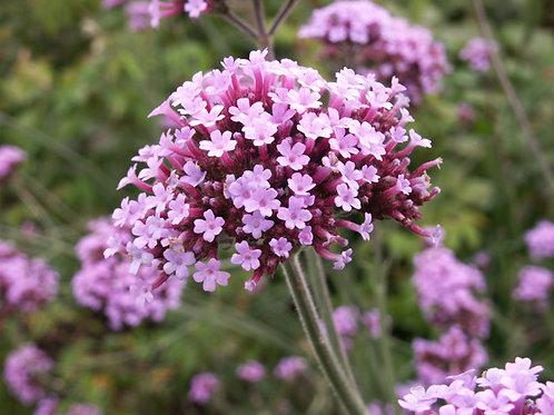 Verbena bonariensis 2L