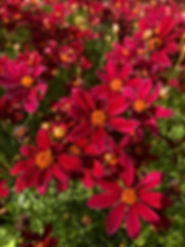 Coreopsis red satin.JPG