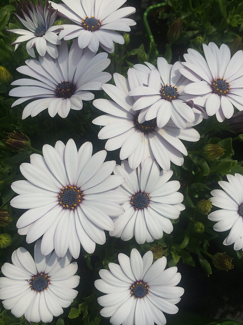 Osteospermum White 2L