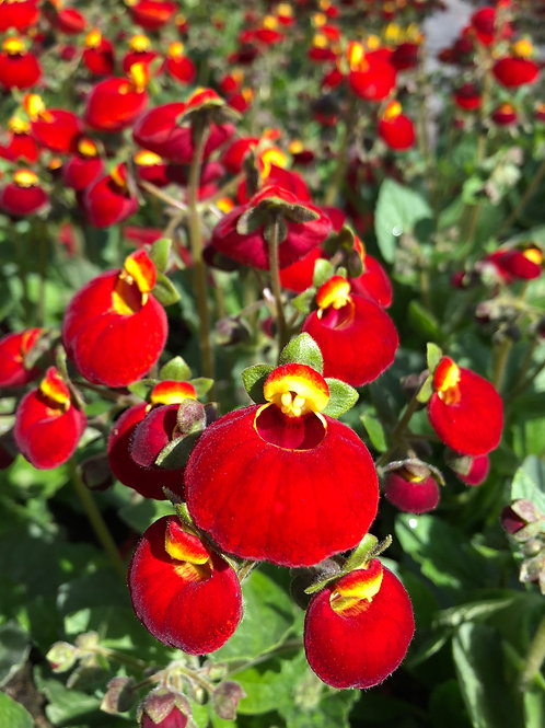 Calceolaria Red 2L