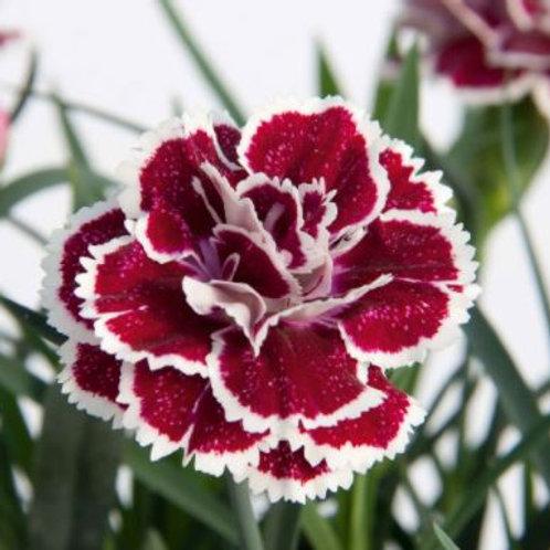 Dianthus 'Super Trouper Sophie' 1L