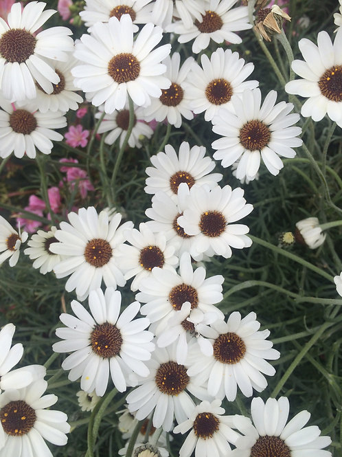 Rhodanthemum White 2L
