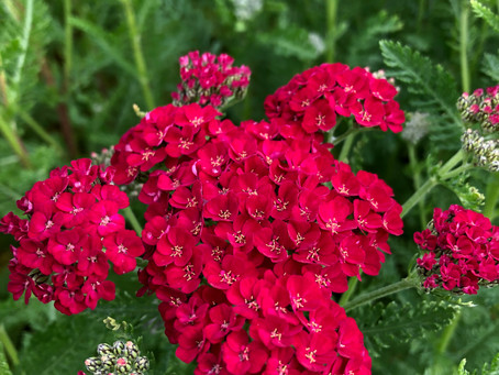 8 of the longest flowering perennials for your garden.