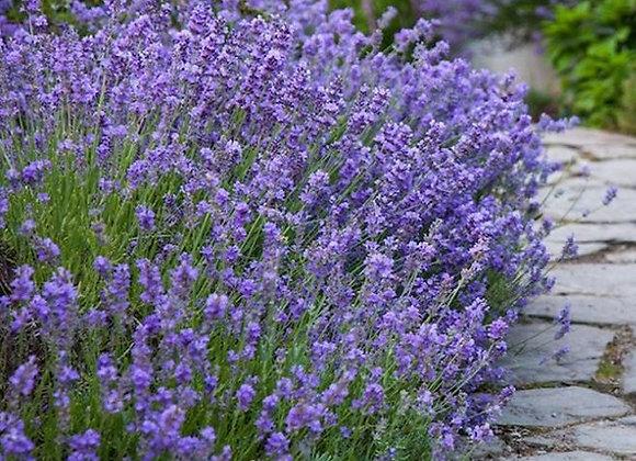 Lavender angust. 'Munstead' 9cm