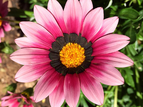 Gazania Pink 9cm