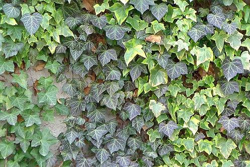 Climbing Ivy 9cm