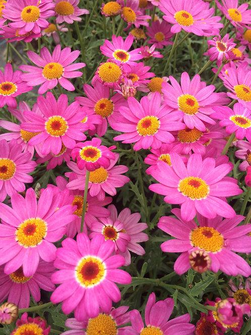 Argyranthemum Pink 1L