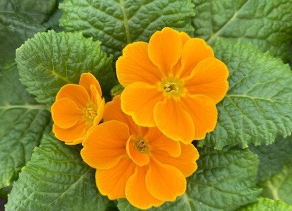 Primrose Orange 9cm