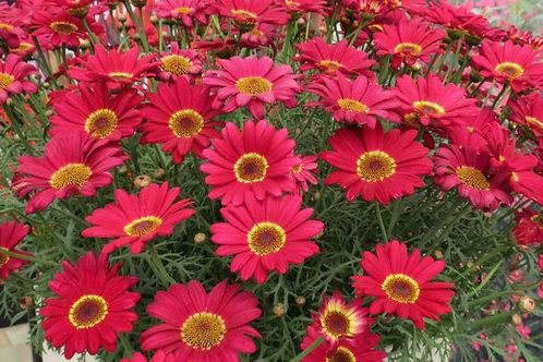 Argyranthemum Red  2L