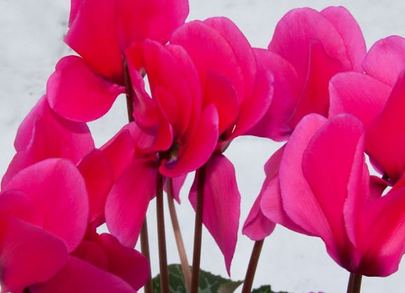 Cyclamen Pink 9cm