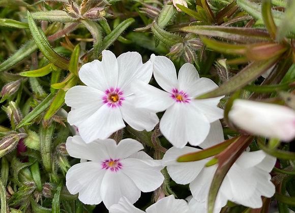 Phlox alpine 'Amazing Grace' 9cm