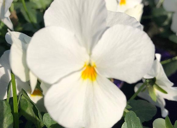 Viola White 9cm