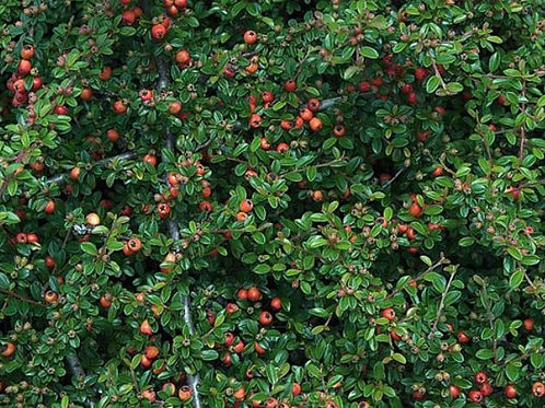 Cotoneaster 'Coral Beauty' 2L