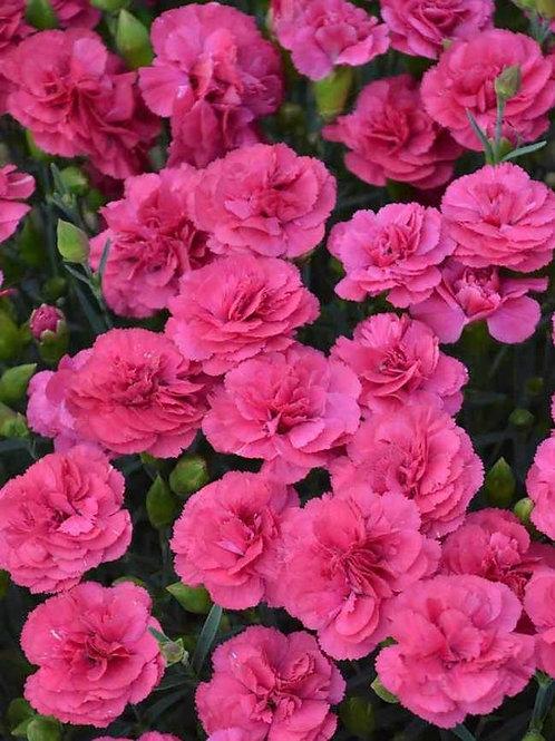Dianthus Pink 9cm