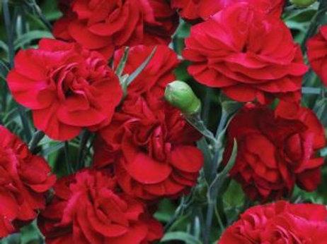 Dianthus 'Passion' 2L