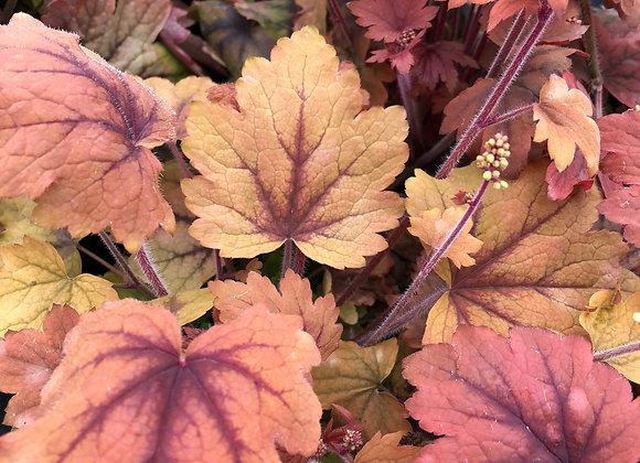 Heucherella 'Sweet Tea' 2L