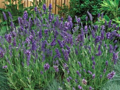 Lavender angustifolia 9cm