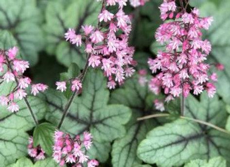 Heucherella 'Pink Fizz' 2L