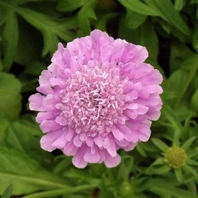 Scabiosa 'Rose Pink' 2L