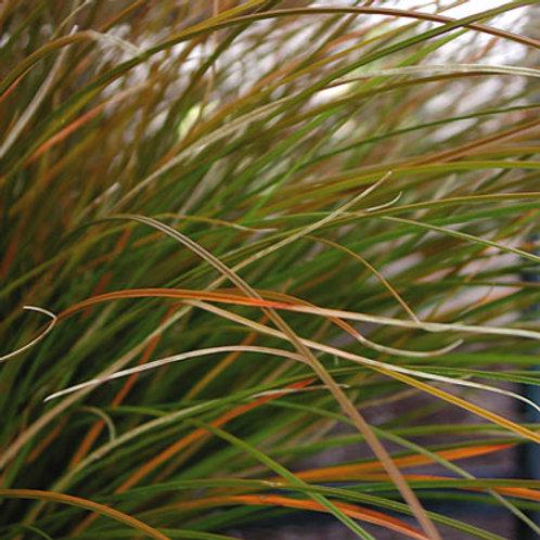 Carex testacea 9cm