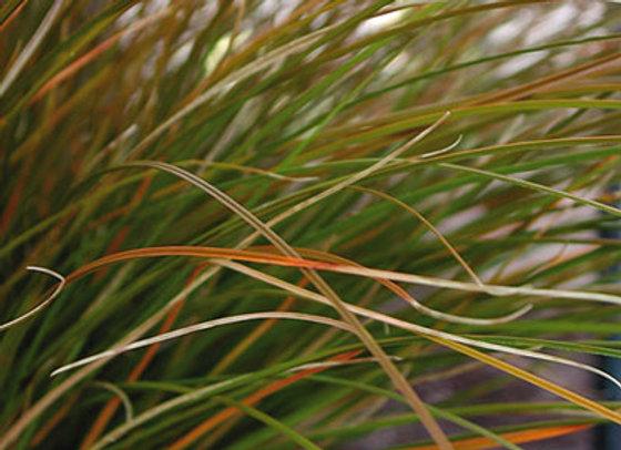 Carex testacea 2L
