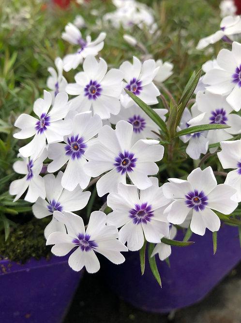 Phlox alpine 'Bavaria' 9cm