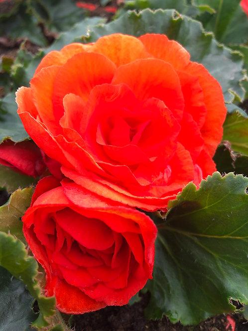 Begonia Orange 1L