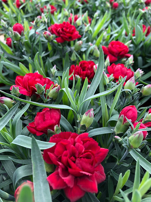 Dianthus 'Colores Red' 2L