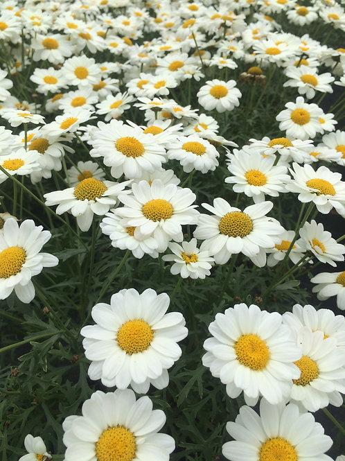 Argyranthemum White 1L
