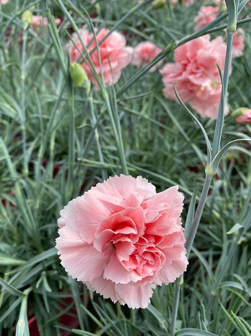 Dianthus 'Doris' 2L