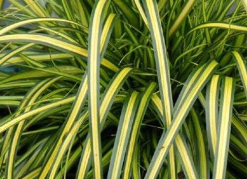 Carex 'Eversheen' 2L