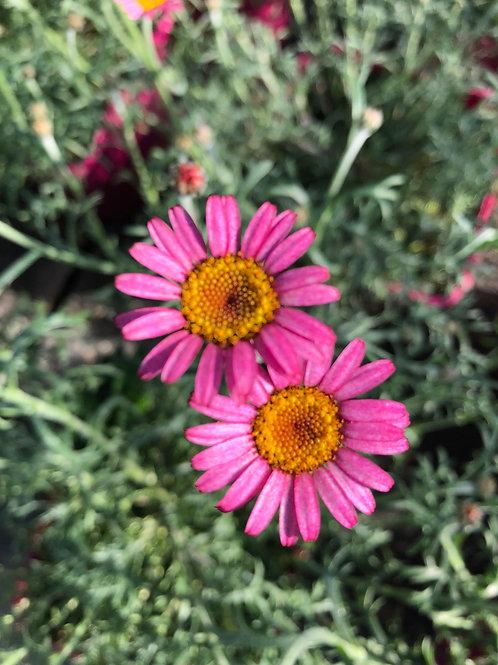 Rhodanthemum Pink 2L